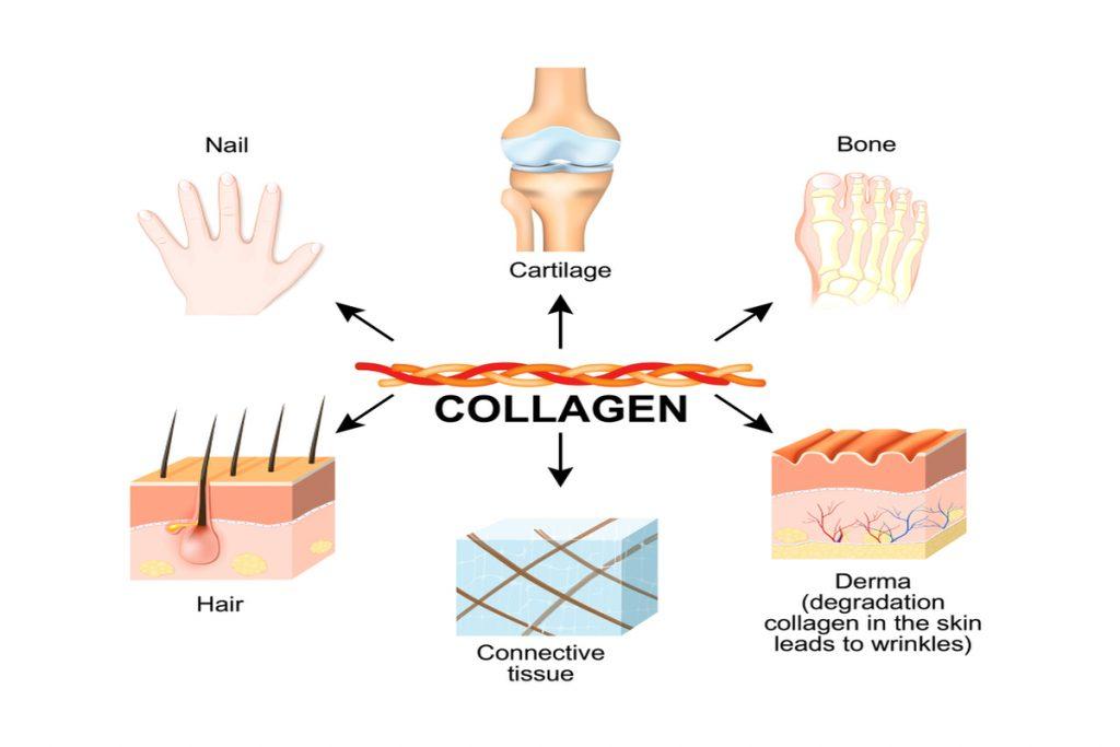 collagen in body